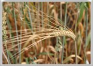 Read about wheat allergy